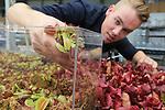 Foto: VidiPhoto <br />  <br /> BLEISWIJK &ndash; Het is de ultieme oplossing voor ons nationale muggenprobleem: vleesetende planten in een aquarium. De &lsquo;groene muggenvangers&rsquo; van de Chris van der Velde (20) uit Bleiswijk zijn amper een week op de markt, maar vliegen inmiddels letterlijk de deur uit. Eerder dit jaar ontwikkelde vader Simon, tevens waterplantenkweker, een educatief plantenaquarium (Amazing World) voor in kinderslaapkamers met vleesetende planten. Het blijkt echter een wondermiddel tegen muggen. De zoetgeurende planten en de blauw-witte LED-lampjes lokken de muggen door een opening in de transparante deksel naar binnen. Ontsnappen is niet meer mogelijk en de planten happen toe.  Insecten als muggen en vliegen vormen ook nog eens de natuurlijke plantenvoeding, dus meer onderhoud dan een maandelijkse scheut water heeft het plantenaquarium niet nodig. Door het warme en vochtige weer worden er veel muggen verwacht. Foto: De vleesetende planten waarmee het aquarium gevuld wordt.