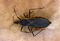 Cone-nose Bug (Kissing Bug), Triatoma rubra