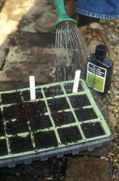 Using fungicide on newly planted seeds so seedlings can avoid fungicide and rot, watering in liquid copper fungicide pesticide with bottle next to seed flat