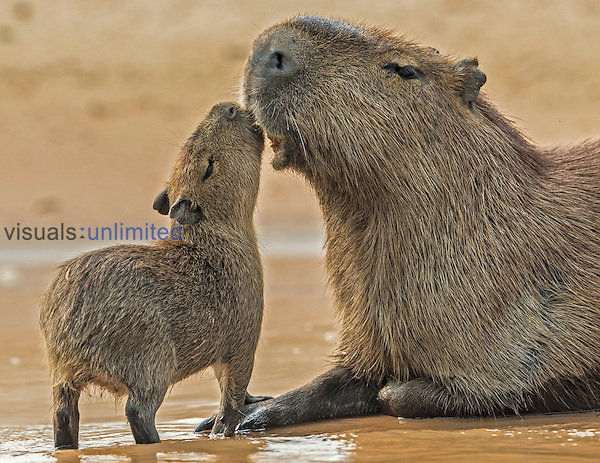 Capybara (Hydrochoerus hydrochaeris), Pantanal, Brazil.
