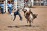 A bull rider is bucked from his bull.  Mareeba Rodeo, Mareeba, Queensland, Australia