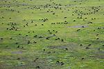 Aerial of wildebeest herd grazing, Serengeti National Park, Tanzania