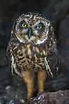 Galapagos Islands, Ecuador , Galapagos short-eared owl (Asio flammeus galapagoensis)