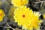 Desert Dandelion