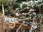 A mature bull elk seen through the trees in Banff National Park, Alberta Canada, on Feb 4, 2011.  Photo by Gus Curtis