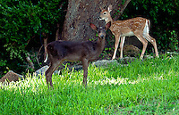 Black White-tail Deer Fawn