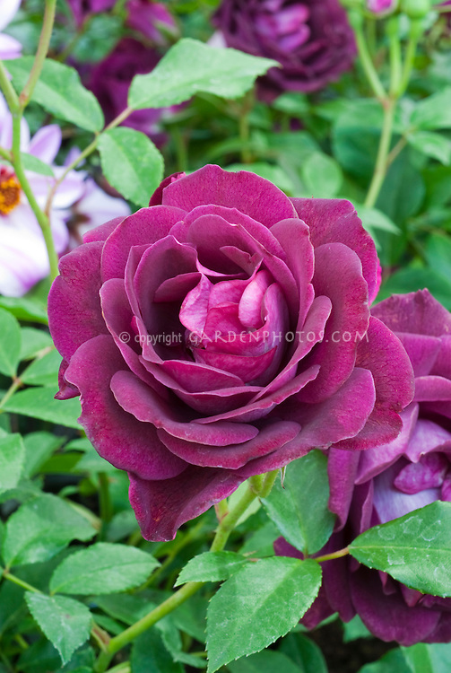 Floribunda rose Burgundy Ice ('Prose') in dark red plum flower color