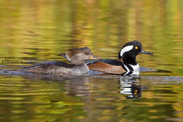 Hooded Merganser pair (Lophodytes cucullatus) swimming on a pond in Victoria, British Columbia, Canada.