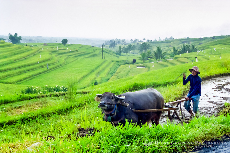 Bali, Tabanan, Jatiluwih. At 700m altitude, with beatiful terraced paddy fields. Farmers are still using traditional methods.