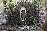 A great bowerbird works on his bower to attract a female to it, Kimberley region, Western Australia.