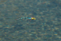 339480003 a wild giant darner anax walsinghani in hover flight over a small stream near big pine inyo county california