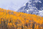 Golden fall aspens against snow covered peaks in the San Juan Mountains, Uncompahgre National Forest, Colorado USA