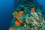 Marine sponge  (Agelas clathrodes) in the reef