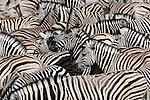 Plains zebra, Equus burchelli, crowd at waterhole, Etosha National Park, Namibia, Africa