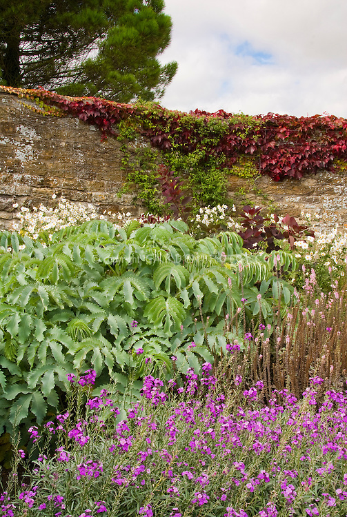 Fall Garden in autumn, with Melianthus, Parthenocissus Boston ivy on wall, flowers, blue sky and clouds, tree