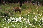 Brown bear among wildflowers of Lake Clark National Park, Alaska.