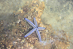 Central America, Costa Rica, Manuel Antonio. A blue sea star in the waters of Manuel Antonio.