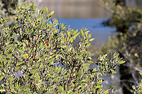 A manzanita, possibly Arctostaphylos pungens (pointleaf manzanita), seen at Lynx Lake.  The lake and a few other plants can be seen blurred out in the background.