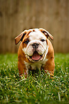Judi - English Bulldog Puppies