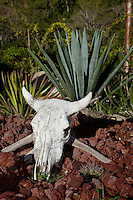&quot;Te-Kill-Ya&quot;- This skull and agave plant, the plant used to make tequila, were photographed near Puerto Vallarta, Mexico.
