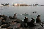 California sea lions at Santa Cruz Muni Wharf