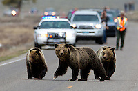 This Grizzly (Ursus arctos horribilis) family draws quite a crowd on Swan Lake Flats every time they come close to the road. Here they are provided safe passage by YNP Ranger Keith Young.