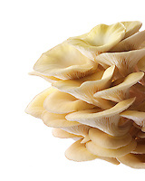 Fresh picked edible yellow or golden pyster mushrooms (Pleurotus citrinopileatus) in a grow box against a white background