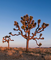 Joshua trees - Yucca brevifolia, Joshua Tree national park, California.
