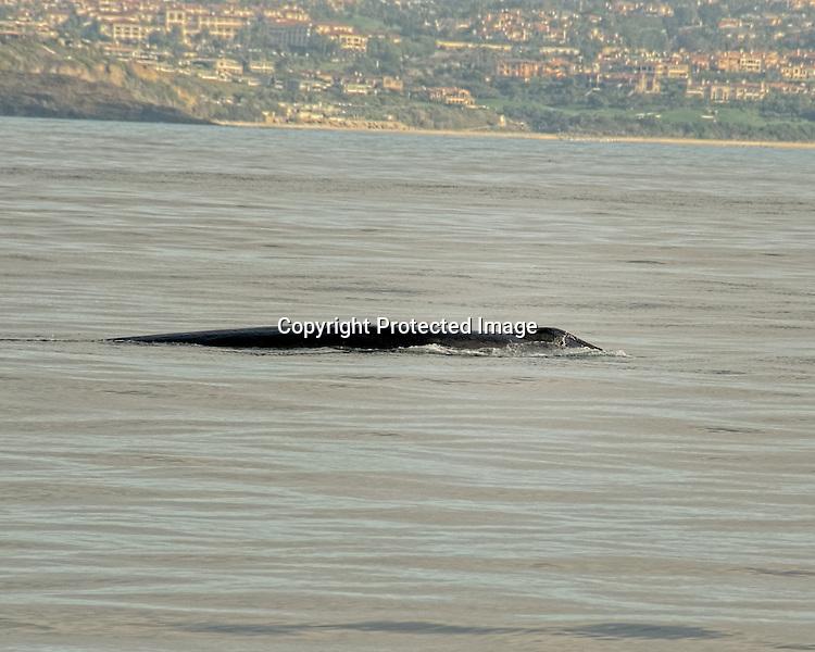 Fin whale off the Orange County California coast