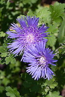 Stokesia laevis 'Mel's Blue', Stokes Aster in blue flowers in summer