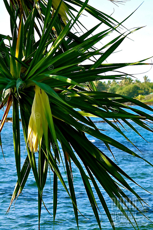 A rare hinano, or male flower of the hala tree, along a Big Island coastline; in ancient times, the pollen was used to preserve feather leis and kahilis, the white bracts around the flower were made into fine mats for Hawaiian chiefs and kahunas, and the hard wood was used to make calabashes and wood posts.