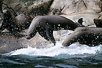 Northern Sea Lions