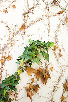 vines and plants on a stucco wall