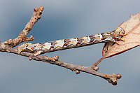 A Woolly Gray Moth (Lycia ypsilon) caterpillar (larva) mimics a twig in Ocala National Forest, Florida.