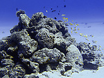 Fishes swim around coral at a dive site in LauLau Bay in Saipan. .Robert Gilhooly Photo