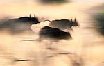 African Buffalo, Kruger National Park, South Africa