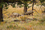 Mule Deer bucks playfighting