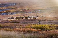 Bow hunter shoots bull caribou on Alaska's arctic coastal plains.