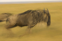 Panned view of a western white-bearded wildebeest running.