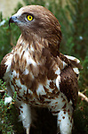 Short Toed Eagle, Circaetus gallicus, found throughout Southern Europe and Africa, captive.France....