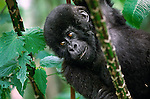 Each passing year brings increased confidence to young mountain gorillas as they explore their forested surroundings in the Virunga mountains, always under the watchful eye of their mother and family groups in Volcanoes National Park, Rwanda.