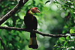 Critically endangered Walden's Hornbill (Aceros waldeni) also called Rufous-headed Hornbill, male perched in a tree..Panay Island, Philippines.