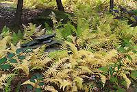 Hay-scented fern - Dennstaedtia punctilobula in autumn fall color