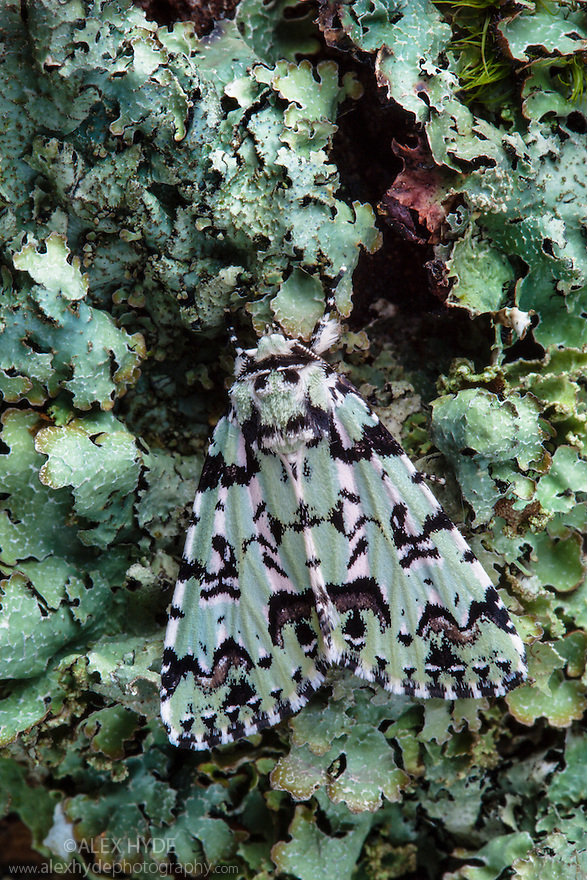 Scarce Merveille du Jour moth (Moma alpium) camouflaged on lichen covered trunk of an oak tree. Hampshire, UK. May.