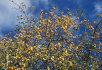 Crabapple fruits in yellow of Golden Hornet showing tree laden with crab apples