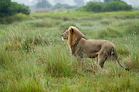 Profile view of an African lion in the tall grass, Botswana, Africa