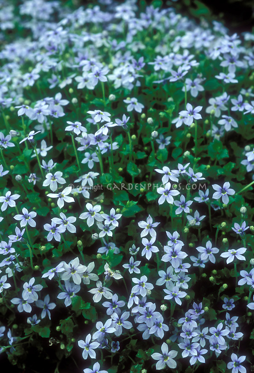 Blue flowers of creeping perennial plant Pratia pedunculata Little Star