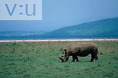 A White Rhinoceros ,Ceratotherium simum, Lake Nakuru National Park, Kenya