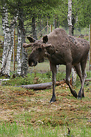 Elg, moose. Rauten, born in 2001. Now ten years old. Namsskogan Familiepark.