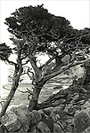 Wind blown cypress trees on 17 mile Drive, Pebble Beach,  CA.